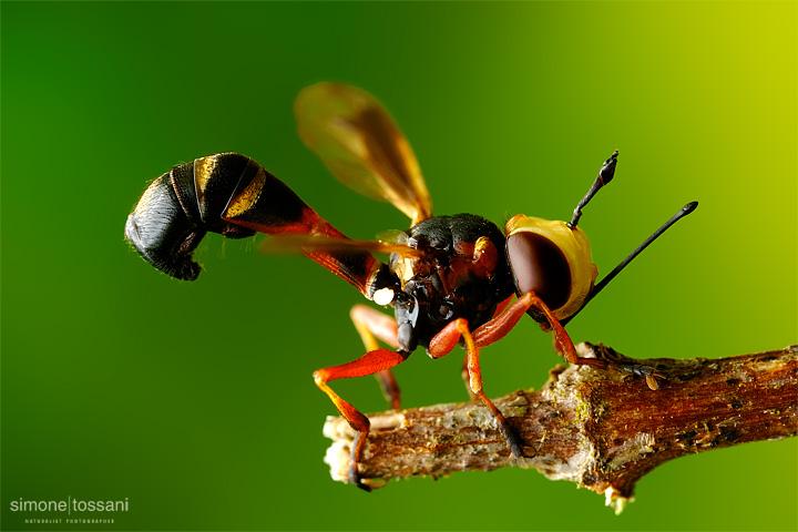 Conopidae physoconops - Nikon D3 - 60 Micro Nikkor AF f/2.8 D - Tubi Estensori - 1/2 Sec - f/22 - ISO 200 - Macrofotografia di insetti materiale Nikon - Simone Tossani