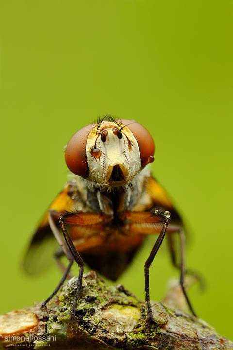 Genus gymnsoma - Nikon D700 - Nikon Micro AF 60 f/2.8 D - Tubi Estensori - 1,3 sec - f/16 - ISO 200 - Macrofotografia di insetti materiale Nikon - Simone Tossani