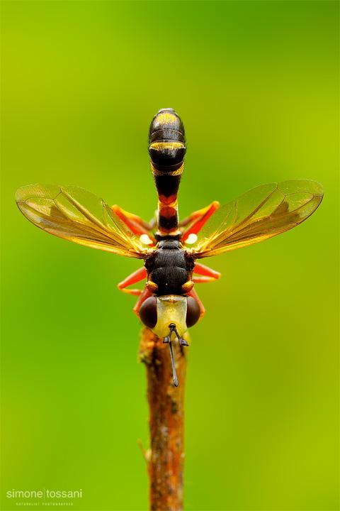 Conopidae physoconops - Nikon D3 - 60 Micro Nikkor AF f/2.8 D - Tubi Estensori - 1/13 Sec - f/20 - ISO 200 - Macrofotografia di insetti materiale Nikon - Simone Tossani