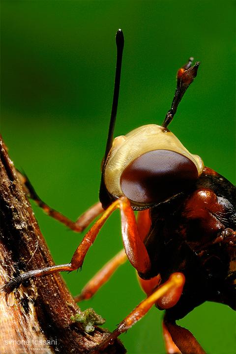 Conopidae physoconops - Nikon D3 - 60 Micro Nikkor AF f/2.8 D - Nikon SB 800 - Nikon PB 6 - 1/8 Sec - f/16 - ISO 200 - Macrofotografia di insetti materiale Nikon - Simone Tossani