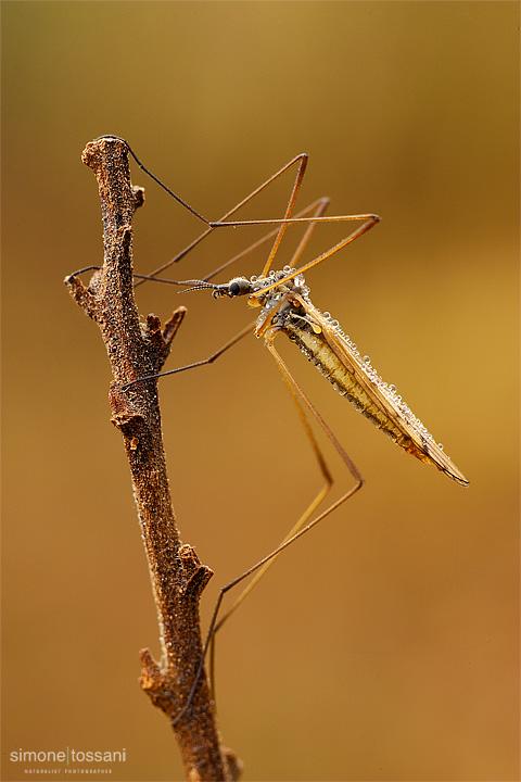 Tipula oleracea Nikon D3 Nikon Micro AF 60 f/2.8 D Tubi Estensori Macrofotografia di insetti materiale Nikon Simone Tossani