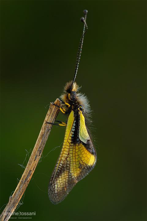 Ascalaphidae libelloides Nikon D3 Sigma 150 f/2.8 EX DG HSM Macro Macrofotografia di insetti materiale Nikon Simone Tossani