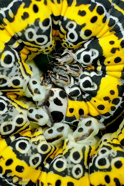 Apopestes specrtum Nikon D3 Micro Nikkor AF 60 f/2.8 D Extended Tube Macrofotografia di insetti materiale Nikon Simone Tossani