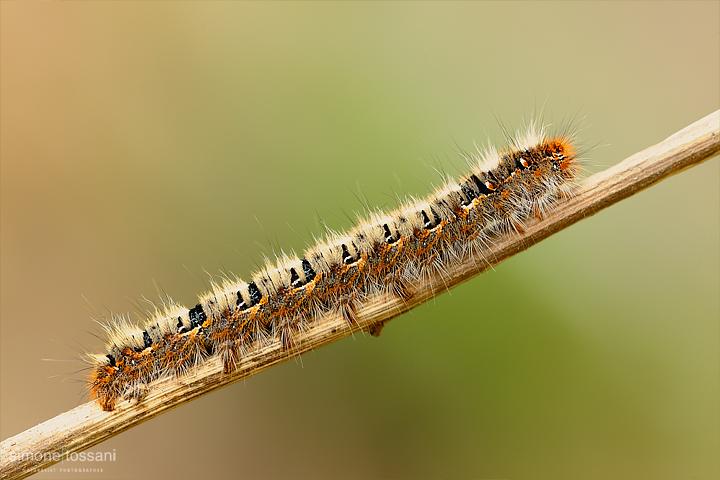 bruco Nikon D3 Micro Nikkor AF 200 f/4 D ED Macrofotografia di insetti materiale Nikon Simone Tossani
