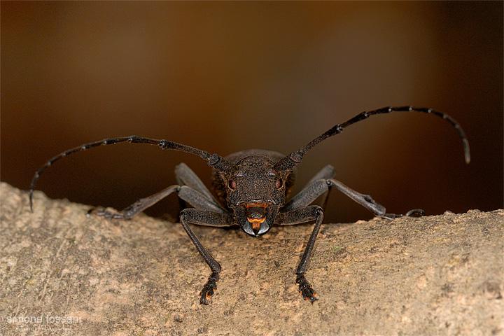 Morimus asper   Nikon D200  Sigma 180 f/3.5 EX DG HSM  Macrofotografia di insetti materiale Nikon Simone Tossani