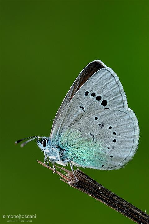 Polyommatus (agrodiaetus) ainsae Nikon D3 Micro Nikkor AF 200 f/4 D ED Macrofotografia di insetti materiale Nikon Simone Tossani