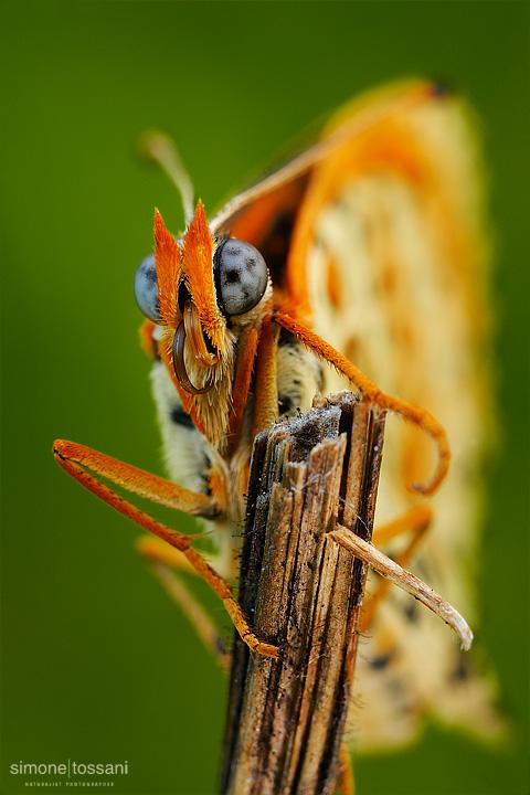Melitaea didyma  Nikon D3  60 Micro Nikkor AF f/2.8 D  Tubi Estensori Macrofotografia di insetti materiale Nikon Simone Tossani