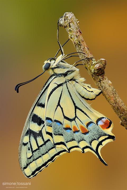 Papilio machaon   Nikon D3  Micro Nikkor AF 200 f/2.8 D ED  Tubi Estensori  Macrofotografia di insetti materiale Nikon Simone Tossani