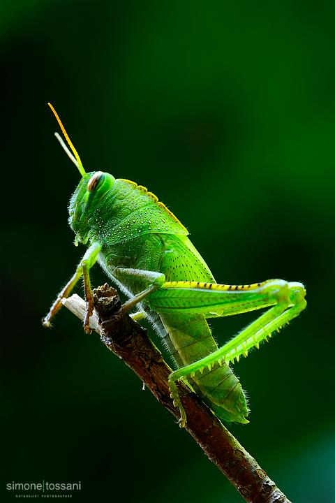 Cyrtacanthacridinae schistocerca  Nikon D3  Nikon Micro AFS 105 f/2.8 VR Macrofotografia di insetti materiale Nikon Simone Tossani