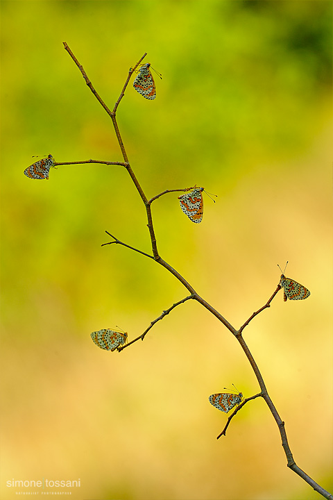 Melitaea didyma  Nikon D3  Micro Nikkor AF 200 f/4 D ED  Macrofotografia di insetti materiale Nikon Simone Tossani