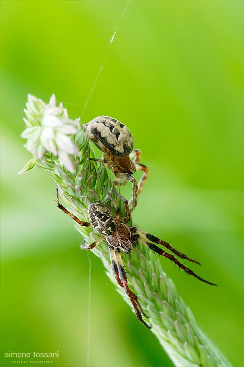 Araneus diadematus   Nikon D200  Sigma 180 f/3.5 EX DG HSM  Macrofotografia di insetti materiale Nikon Simone Tossani