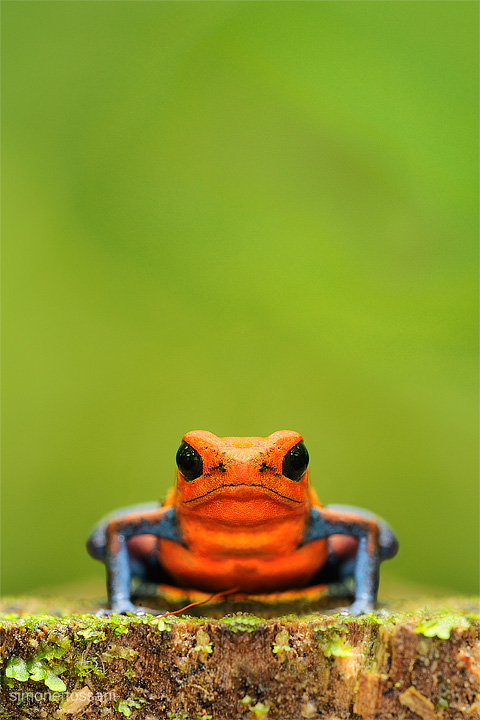 Dendrobates pumilio   Nikon D3  200 Micro Nikkor AF f/4 D ED  Macrofotografia di insetti materiale Nikon Simone Tossani