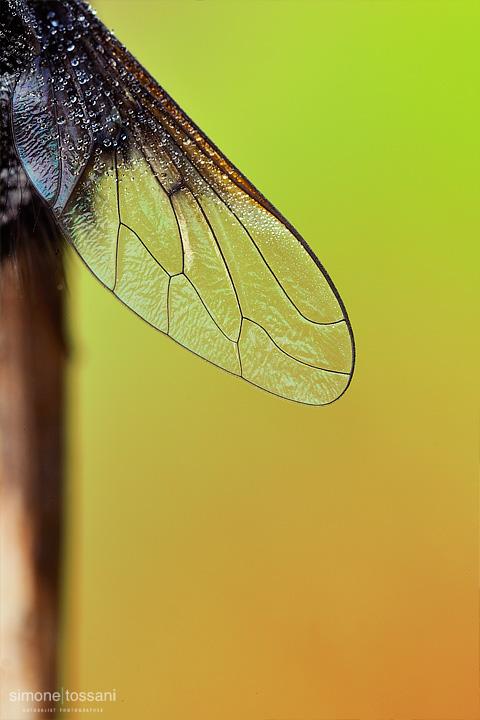 Bombylella atra   Nikon D3  Nikon Micro AF 60 f/2.8 D  Tubi Estensori  0.7 sec  f/22  ISO 200 Macrofotografia di insetti materiale Nikon Simone Tossani