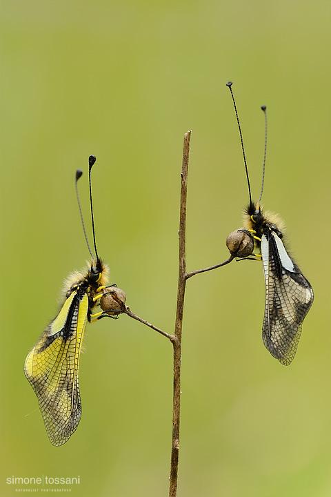 Ascalaphidae libelloides  Nikon D3  Nikon Micro AF 200 f/4 D ED  1/8 sec  f/20  ISO 200 Macrofotografia di insetti materiale Nikon Simone Tossani