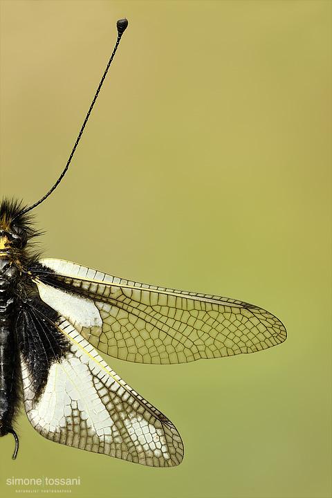 Ascalaphidae libelloides  Nikon D3  Nikon Micro AF 200 f/4 D ED  1/25 sec  f/14  ISO 200 Macrofotografia di insetti materiale Nikon Simone Tossani