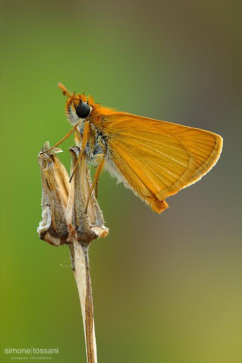 Thymelicus acteon  Nikon D3  Nikon Micro AF 200 f/4 D  1/5 sec  f/22  ISO 100 Macrofotografia di insetti materiale Nikon Simone Tossani