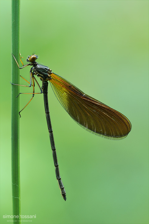 Calopteryx virgo   Nikon D3  Nikon Micro AF 200 f/4 D  5 sec  f/13  ISO 200 Macrofotografia di insetti materiale Nikon Simone Tossani