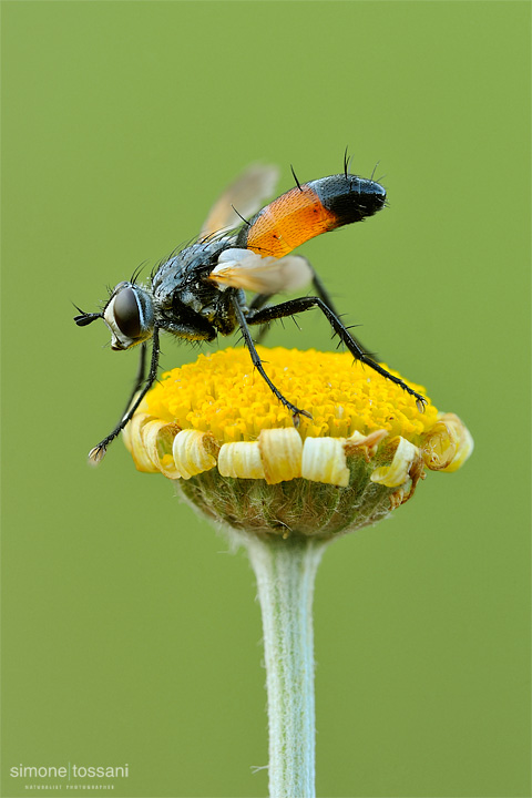 Cylindromya brassicaria  Nikon D3  Nikon Micro AF 200 f/4 D  1/8 sec  f/20  ISO 200 Macrofotografia di insetti materiale Nikon Simone Tossani