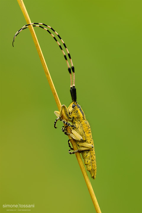 Agapanthia villosoviridescens   Nikon D3  Nikon Micro AF 200 f/4 D  1/25 sec  f/22  ISO 200 Macrofotografia di insetti materiale Nikon Simone Tossani