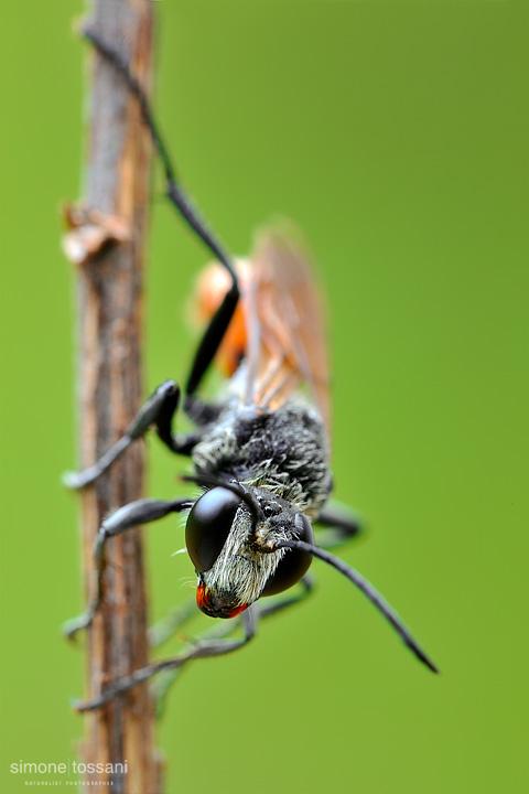 Ammophila sabulosa  Nikon D3  Nikon Micro AF 200 f/4 D  1.3 sec  f/22  ISO 100 Macrofotografia di insetti materiale Nikon Simone Tossani
