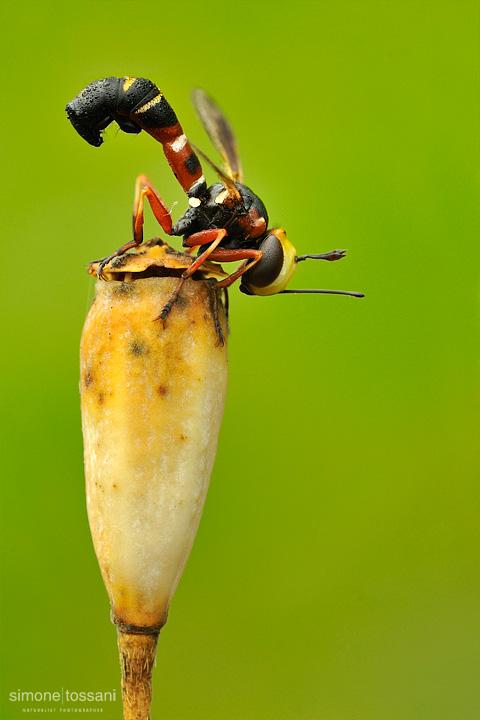 Conopidae physoconops   Nikon D3  Nikon Micro AF 200 f/4 D  1/6 sec  f/22  ISO 100 Macrofotografia di insetti materiale Nikon Simone Tossani