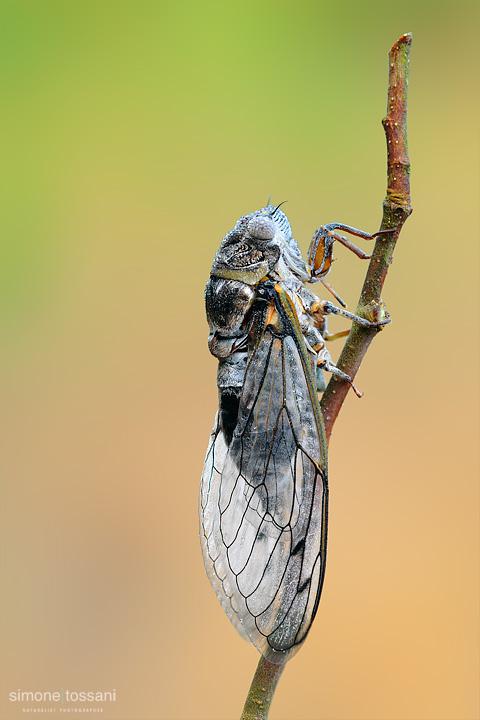 Cicadidae westwood    Nikon D3  Nikon Micro AF 200 f/4 D  1.3 sec  f/22  ISO 100  Macrofotografia di insetti materiale Nikon Simone Tossani