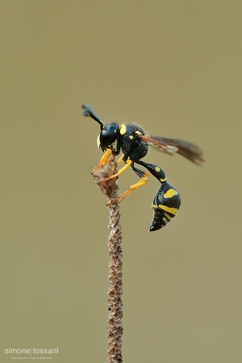 hm0109v  Nikon D3  Nikon Micro AF 200 f/4 D  1/10 sec  f/22  ISO 200 Macrofotografia di insetti materiale Nikon Simone Tossani