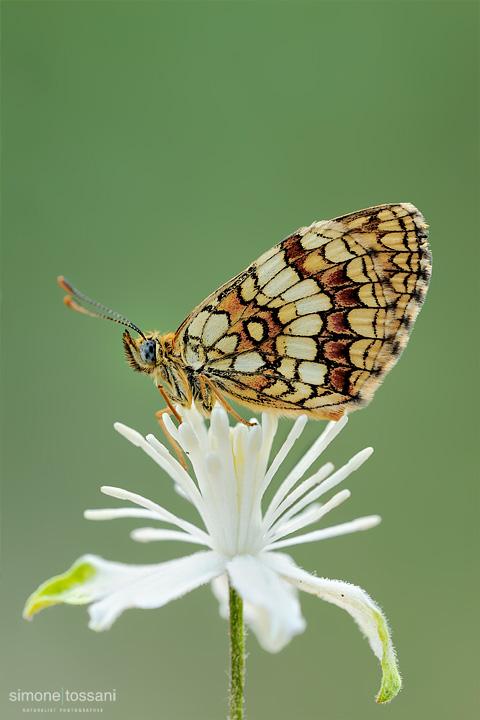 Melitaea athalia   Nikon D3  Nikon Micro AF 200 f/4 D  1/30 sec  f/18  ISO 400 Macrofotografia di insetti materiale Nikon Simone Tossani