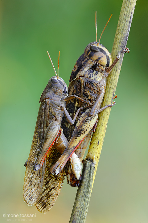 Locusta Migratoria   Nikon D3  Nikon Micro AF 200 f/4 D  Macrofotografia di insetti materiale Nikon Simone Tossani
