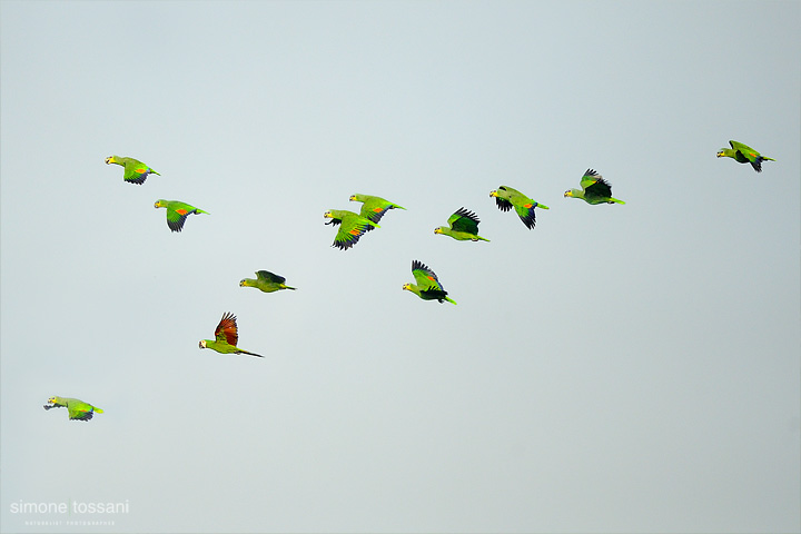 Ara ambigua   Nikon D3  Nikon 600 f / 4 VR  1/640 sec  f/4  ISO 1600 Caccia fotografica uccelli materiale Nikon Simone Tossani