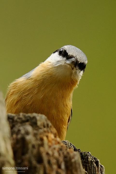 Sitta europaea  Nikon D3  Nikon 600 VR f/4  1/400 sec  f/4  ISO 1250 Caccia fotografica uccelli materiale Nikon Simone Tossani