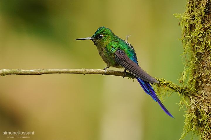 Aglaiocercus coelestis   Nikon D3   Nikon 600 f/4 VR   1/200 sec  f/4  ISO 1000 Caccia fotografica uccelli materiale Nikon Simone Tossani