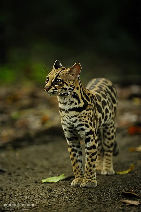 Leopardus pardalis  (Ocelot)   Nikon D3  Nikon 70/200 f/2.8 VR  1/100 Sec  f/2.8  ISO 1600 Caccia fotografica mammiferi materiale Nikon Simone Tossani