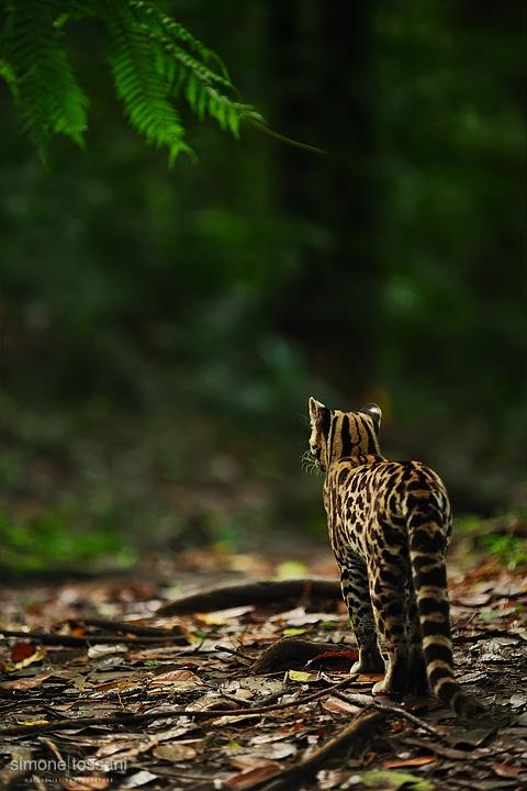 Leopardus pardalis  (Ocelot)  Nikon D3  Nikon 70/200 f/2.8 VR  1/80 Sec  f/2.8  ISO 1600 Caccia fotografica mammiferi materiale Nikon Simone Tossani