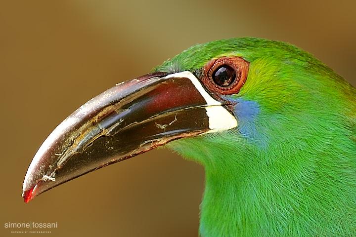 Alulacorhynchus haematopygus   Nikon D3  Nikon 600 f / 4 VR  Nikon TC 1.7  1/1000 sec  f/7.1  ISO 400 Caccia fotografica uccelli materiale Nikon Simone Tossani