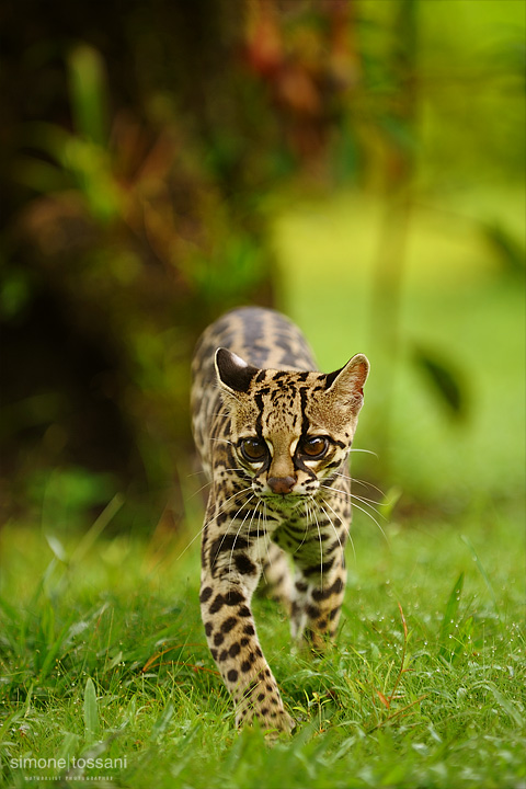 Leopardus pardalis  (Ocelot)  Nikon D3  Nikon 70/200 f/2.8 VR  1/160 Sec  f/4  ISO 200 Caccia fotografica mammiferi materiale Nikon Simone Tossani