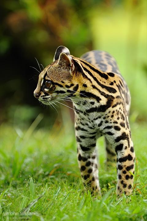 Leopardus pardalis  (Ocelot)  Nikon D3  Nikon 70/200 f/2.8 VR  1/200 Sec  f/4  ISO 200 Caccia fotografica mammiferi materiale Nikon Simone Tossani