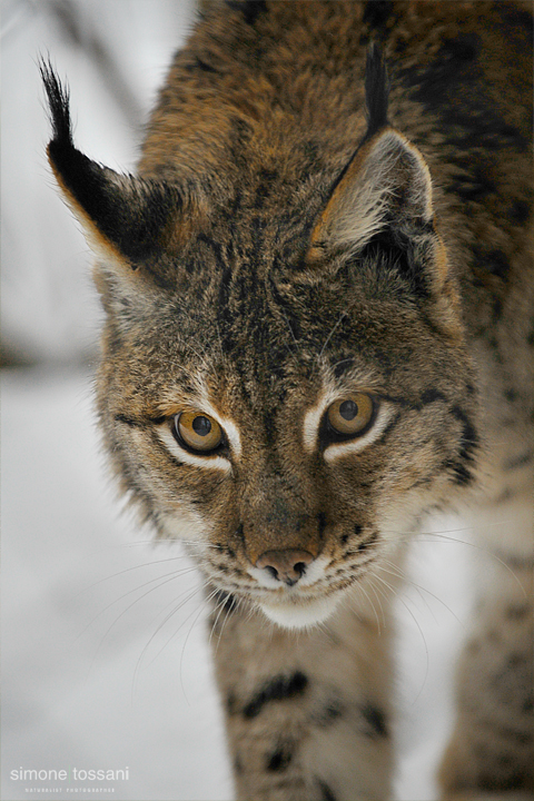 Lynx lynx    Nikon D3  Nikon 70/200 f/2.8 VR  1/400 Sec  f/4  ISO 800 Caccia fotografica mammiferi materiale Nikon Simone Tossani