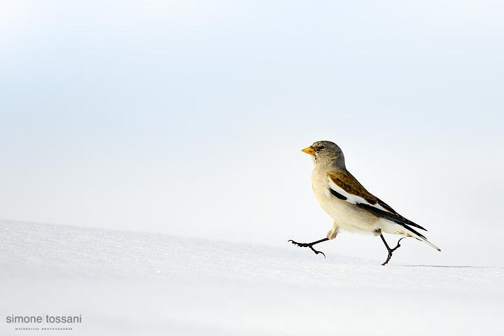 Montifringilla nivalis  Nikon D3   Nikon 600 f/4 VR   1/1600 sec  f/4  ISO 200 Caccia fotografica uccelli materiale Nikon Simone Tossani