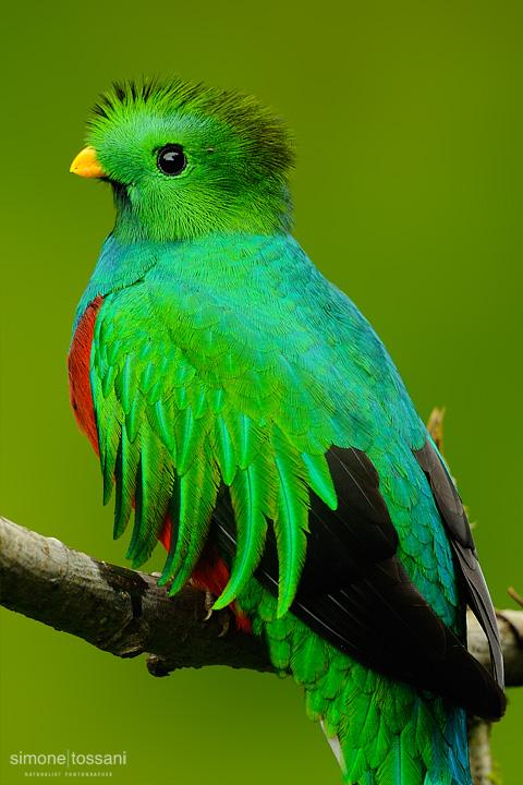 Quetzal  Haromachrus mocinno   Nikon D3  Nikon 600 f / 4 VR  Nikon TC 1.7  1/250 sec  f/6.7  ISO 1600 Caccia fotografica uccelli materiale Nikon Simone Tossani