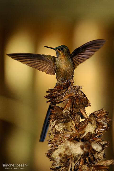 Aglaiocercus coelestis  Nikon D3   Nikon 600 f/4 VR   1/1250 sec  f/4.8  ISO 1000 Caccia fotografica uccelli materiale Nikon Simone Tossani