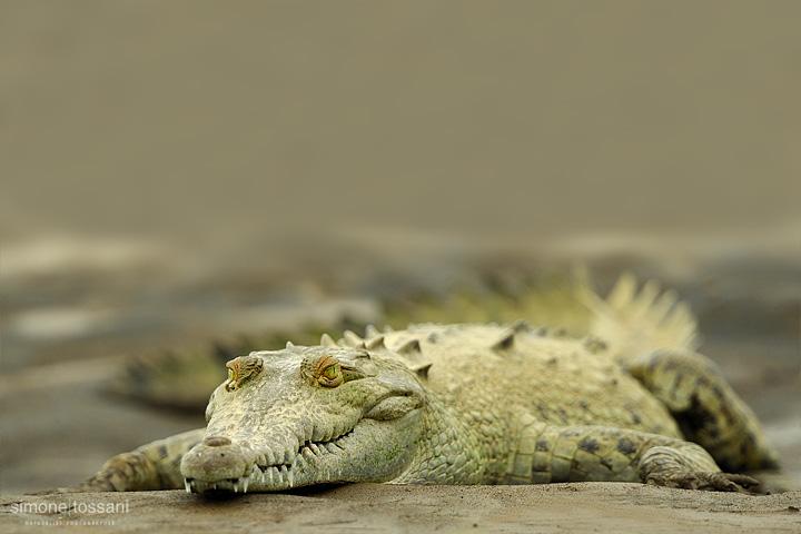 Crocodylus intermedius Nikon D3  Nikon 600 VR f/6.3  1/500 sec  f/4  ISO 400 Caccia fotografica rettili materiale Nikon Simone Tossani