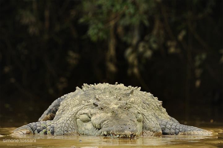 Crocodylus acutus  Nikon D3  Nikon 600 VR f/4  1/2500 sec  f/4  ISO 1250 Caccia fotografica rettili materiale Nikon Simone Tossani
