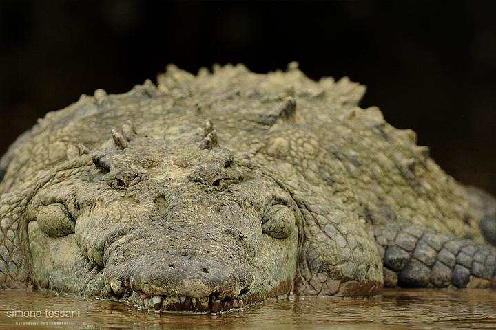 Crocodylus acutus  Nikon D3  Nikon 600 VR f/4  1/2500 sec  f/6.3  ISO 1250 Caccia fotografica rettili materiale Nikon Simone Tossani