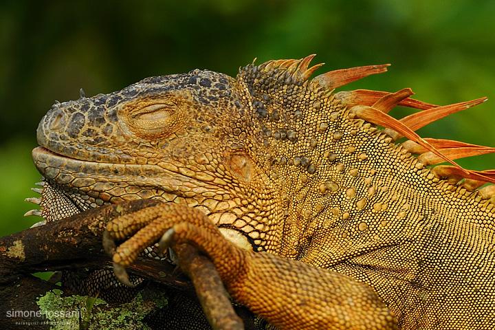Iguana iguana   Nikon D3  Nikon 600 VR f/4  Nikon TC 1.7x  1/320 sec  f/7.1  ISO 640 Caccia fotografica rettili materiale Nikon Simone Tossani