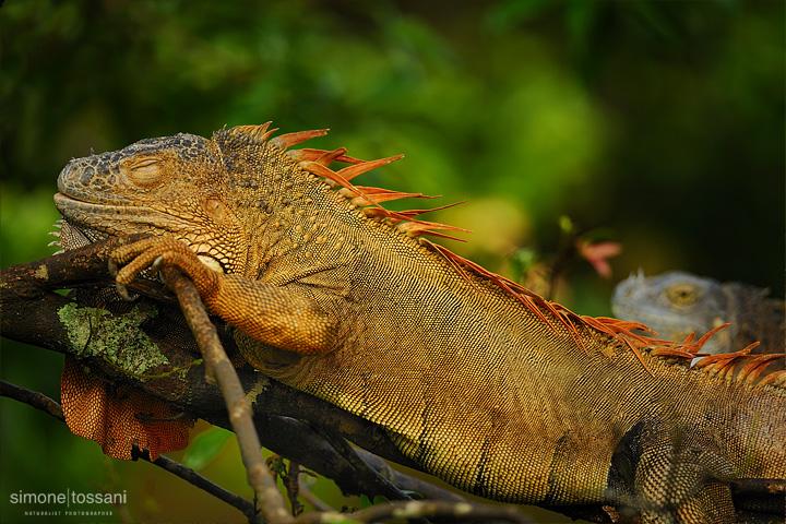 Iguana iguana   Nikon D3  Nikon 600 VR f/4  1/500 sec  f/4  ISO 400 Caccia fotografica rettili materiale Nikon Simone Tossani