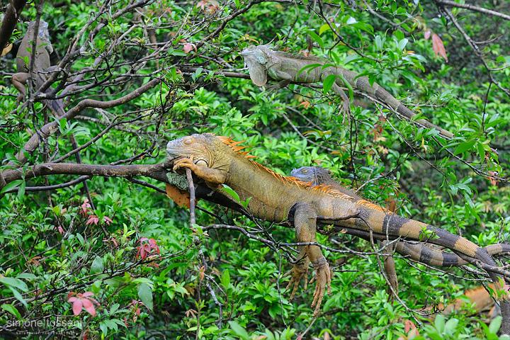 Iguana iguana  Nikon D700  Nikon 24/70 f/2.8  1/100 Sec  f/5.6  ISO 200 Caccia fotografica rettili materiale Nikon Simone Tossani